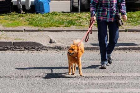 red Karelian husky on a leash. Karelian Bear Dog. Pet. Red-haired dog. Finnish Spitz.