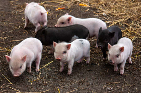seven little piglets on the farm. High quality photo