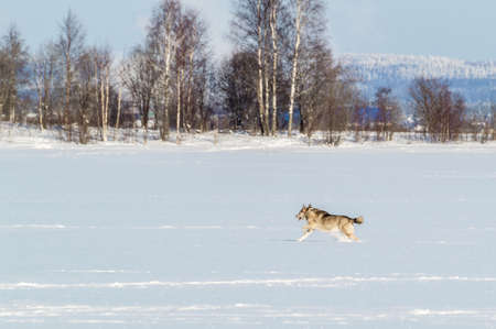 winter landscape with a dog running through the snow. High quality photo