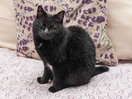 Black beautiful Kurilian Bobtail cat standing on the sofa Фото со стока