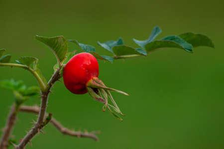 beautiful rosehip berry on the bush. High quality photo Фото со стока