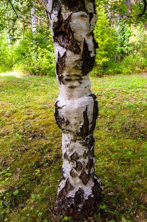 Beautiful karelian birch trunk. Betula pendula var. carelica. High quality photo