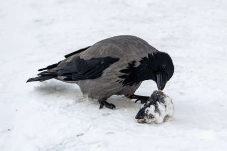 the crow is biting a fish head in the snow. High quality photo