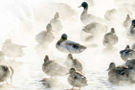ducks bask in warm springs in the frosty weather. The silhouettes of ducks among the steam. High quality photo Фото со стока