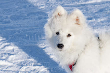 Portrait of a young Samoyed dog against the snow. High quality photo