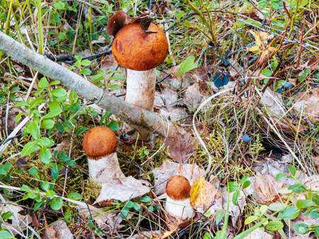 Three mushroom of the species Leccinum. Edible mushroom of different sizes among the grass in the forest. High quality photo