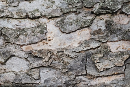 Apple Tree Bark Texture 版權商用圖片