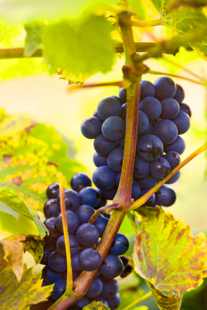 A bunch of blue grapes on a vine in the suns rays in warm tones