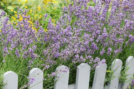 Lavender bush near the wooden fence.