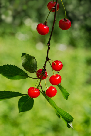 Red cherry on a branch in the garden on a summer day. Cherry branch in the suns rays of light. The cherry is ripe.