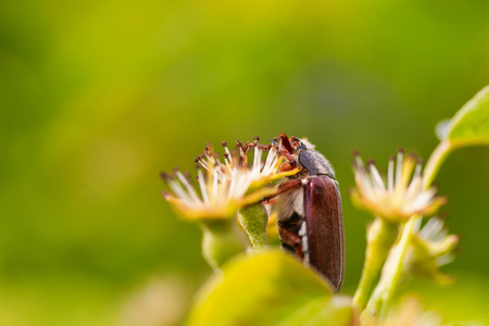 Cockchafer on a flower in the rays of the early sun with a soft blurred background Stock Photo