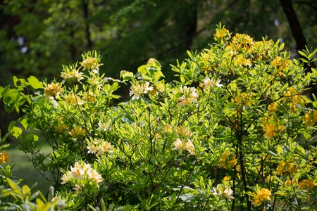 Yellow blooming rhododendron in the territory of the Botanical Garden, Chernivtsi, Ukraine.Art photo with a bush of yellow rhododendron.