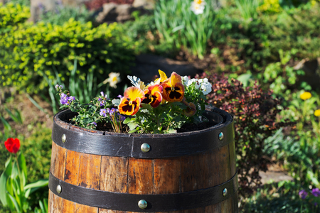 Flowers of violets in an oak barrel among the flower beds
