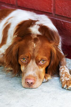 Brittany spaniel.Portrait of a lying dog Espanyol Breton