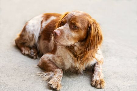 Portrait of a dog lying Espanol Breton on the concrete surface.Thoroughbred pet Stock fotó