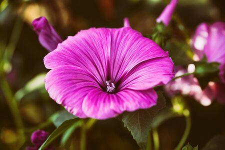 Beautiful pink garden flower close-up