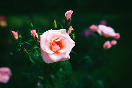 Delicate pink rose with a soft green background. Garden rose in bloom. Pink rose flowers on a shrub in the summer. Rose flower blooms in a garden park. 版權商用圖片