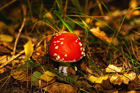 Red fly agaric in dry and green leaves in autumn forest