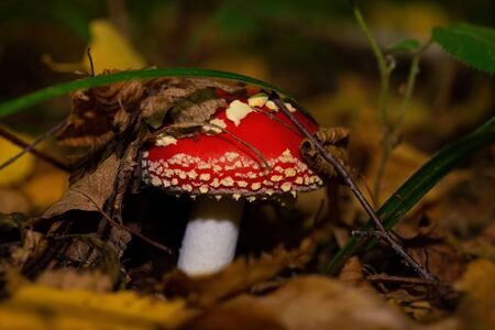 red stipe mushroom.Young fly agaric under a blade of grass among autumn foliage