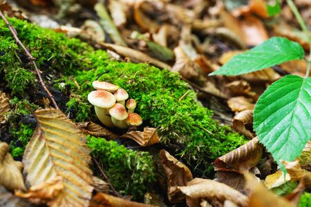 Group of Mushrooms growing in the Autumn Forest.Autumn landscape in the forest