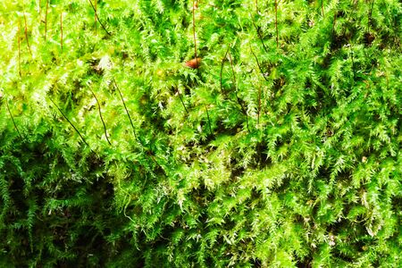 Soft green juicy moss in the forest. Banque d'images - 132113269