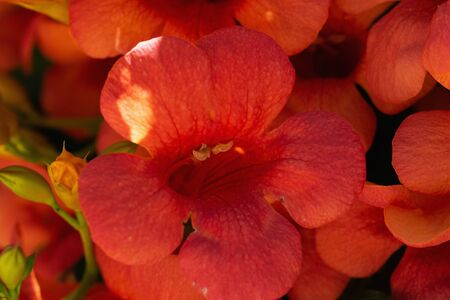 Red campsis blooming in the garden .Flower close up Imagens