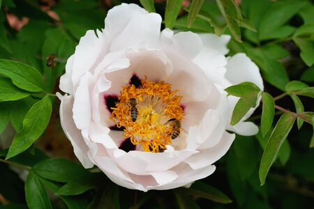 White peony flower with bee on yellow pistil and stamen close up detail, soft green blurry leaves background Foto de archivo