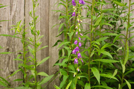 Lilac flowers in the form of bells on the background of an old wooden fence Фото со стока