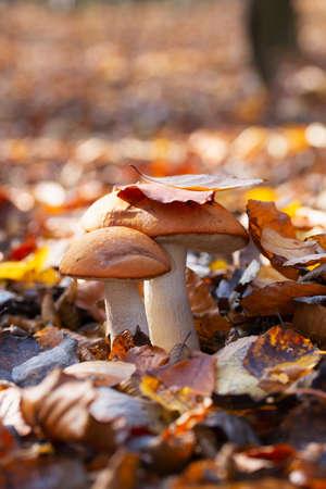 Two beautiful edible mushrooms in autumn foliage
