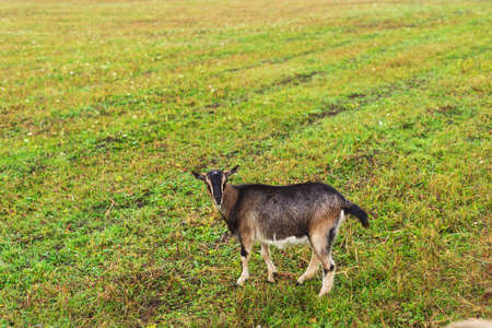 Cute shaggy domestic dairy goat grazes on the field