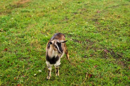 Cute shaggy domestic dairy goat grazes on the field Banque d'images