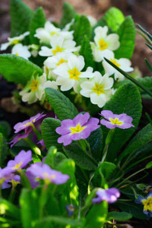Multicolor Primrose primula vulgaris first spring flower blossoming in march. Perennial yellow primrose in spring primula garden. Colorful pink primroses flowers, primula polyanthus closeup macro