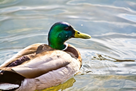 Beautiful swimming mallard male duck with bright drops on the head photo