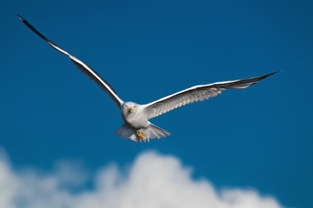 wingspread: Hunting seagull with large wingspread flies in the blue sky and looks in camera
