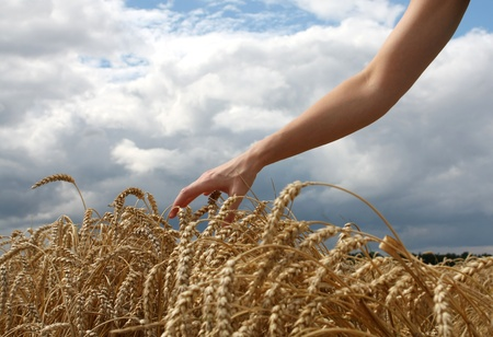 Hand in wheat field photo
