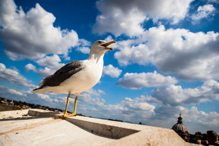 Seagull in the city of Rome, Italy, Europe