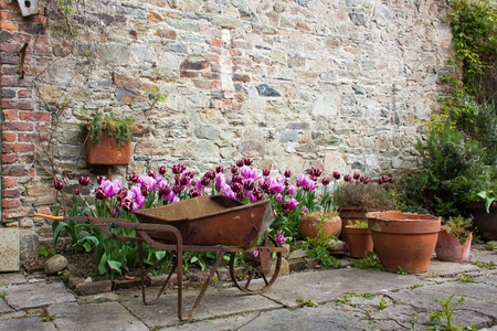 Garden with tulips and orange flower pots and a wheelbarrow photo