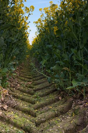 Tracks in a rapeseed field from a Tractor photo