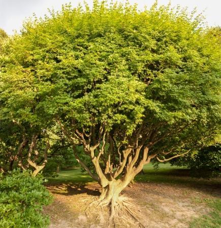 acer palmatum: Acer palmatum, called Japanese Maple or Smooth Japanese Maple
