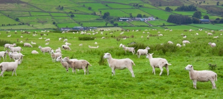 Herd of farm sheep gathered and grazing on an Irish mountain meadow photo