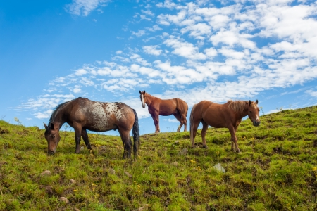 Portrait of three fierce quarter horses standing and grazing on a green hill taken from a lower angle photo