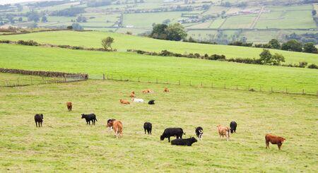 Cows grazing on Irish hillside in Northern Ireland photo