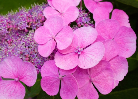 hydrangea macrophylla: Hydrangea Macrophylla Zaunkoenig or Pink Hortensia