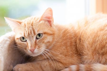 gato atigrado: Ginger Tabby gato en casa en su cesta