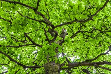 arbol roble: Mirando hacia arriba una corona de roble con muelle follaje verde Foto de archivo