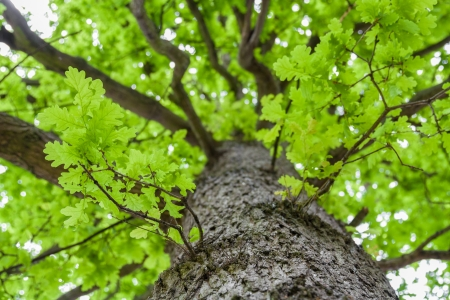 Looking up an oak tree crown with spring green foliage photo