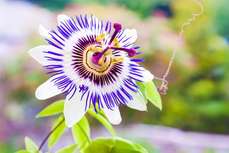 rosids: Passiflora known also as the passion flowers or passion vines Stock Photo