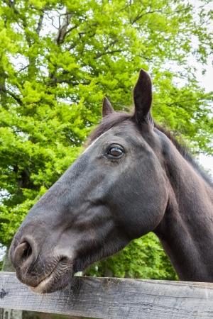 gitana: Retrato de un caballo gitano negro Foto de archivo