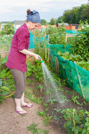 plots: Woman watering strawberries in an allotment