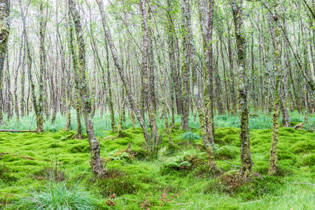carex: Alder forest with moss and carex